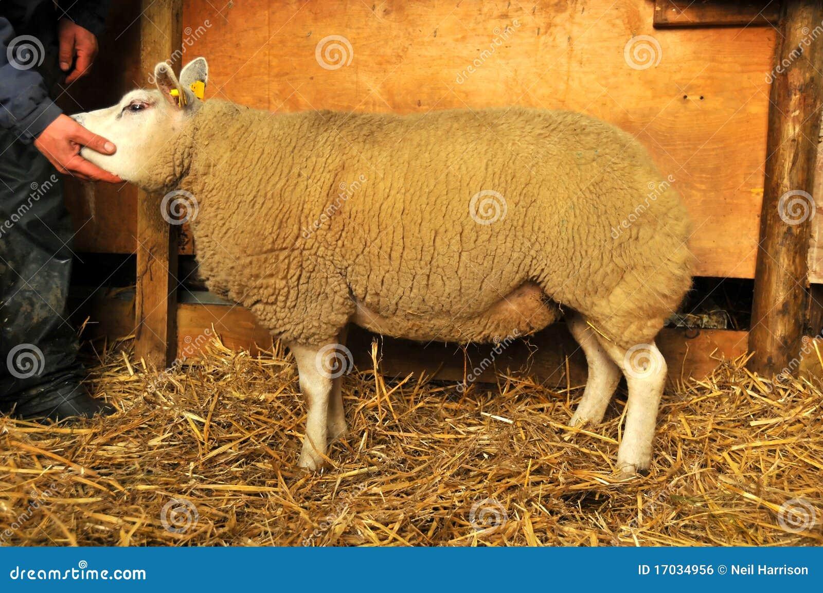 Moutons de pure race