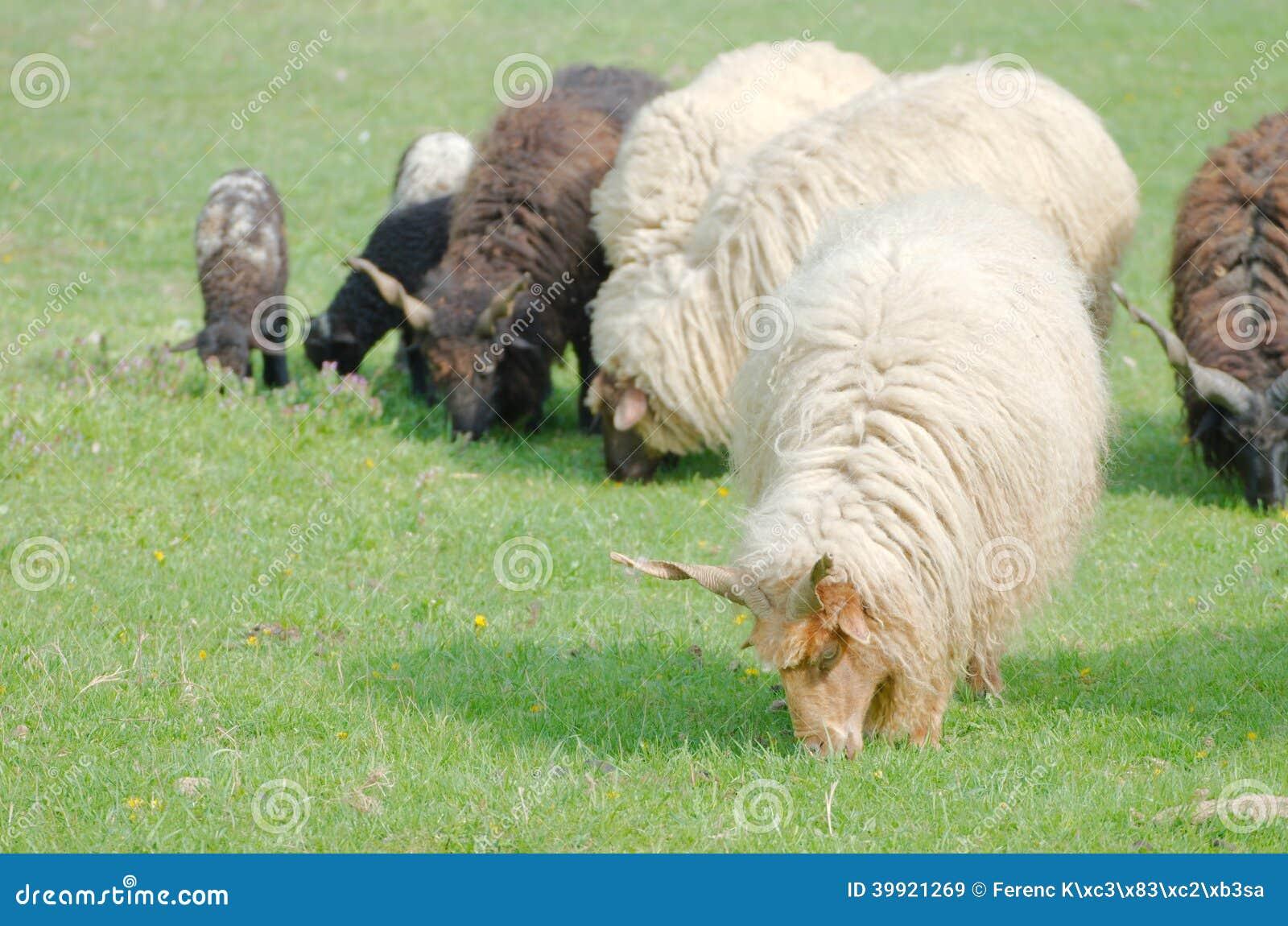 Moutons de Racka de Hongrois menant le pâturage