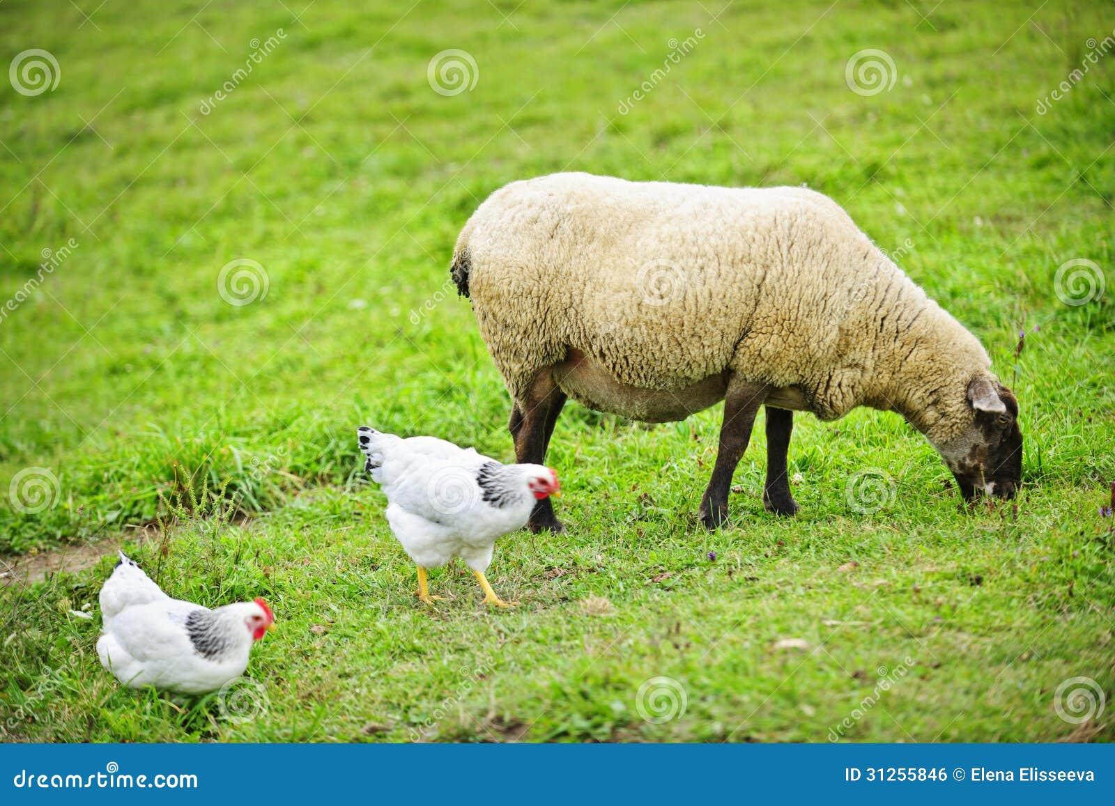 Moutons et poulets frôlant à la ferme