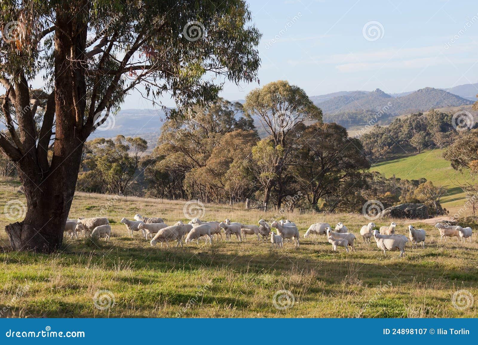Moutons frôlant dans la ferme près d Oberon. NSW. l Australie.
