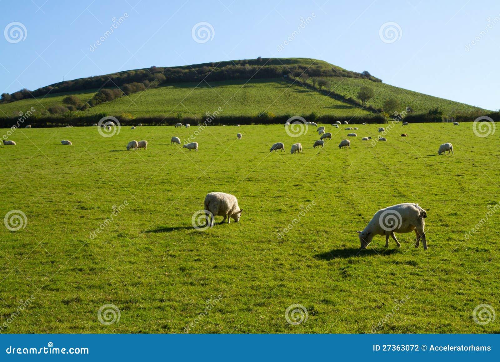 Moutons frôlant sur le monticule Somerset de Brent