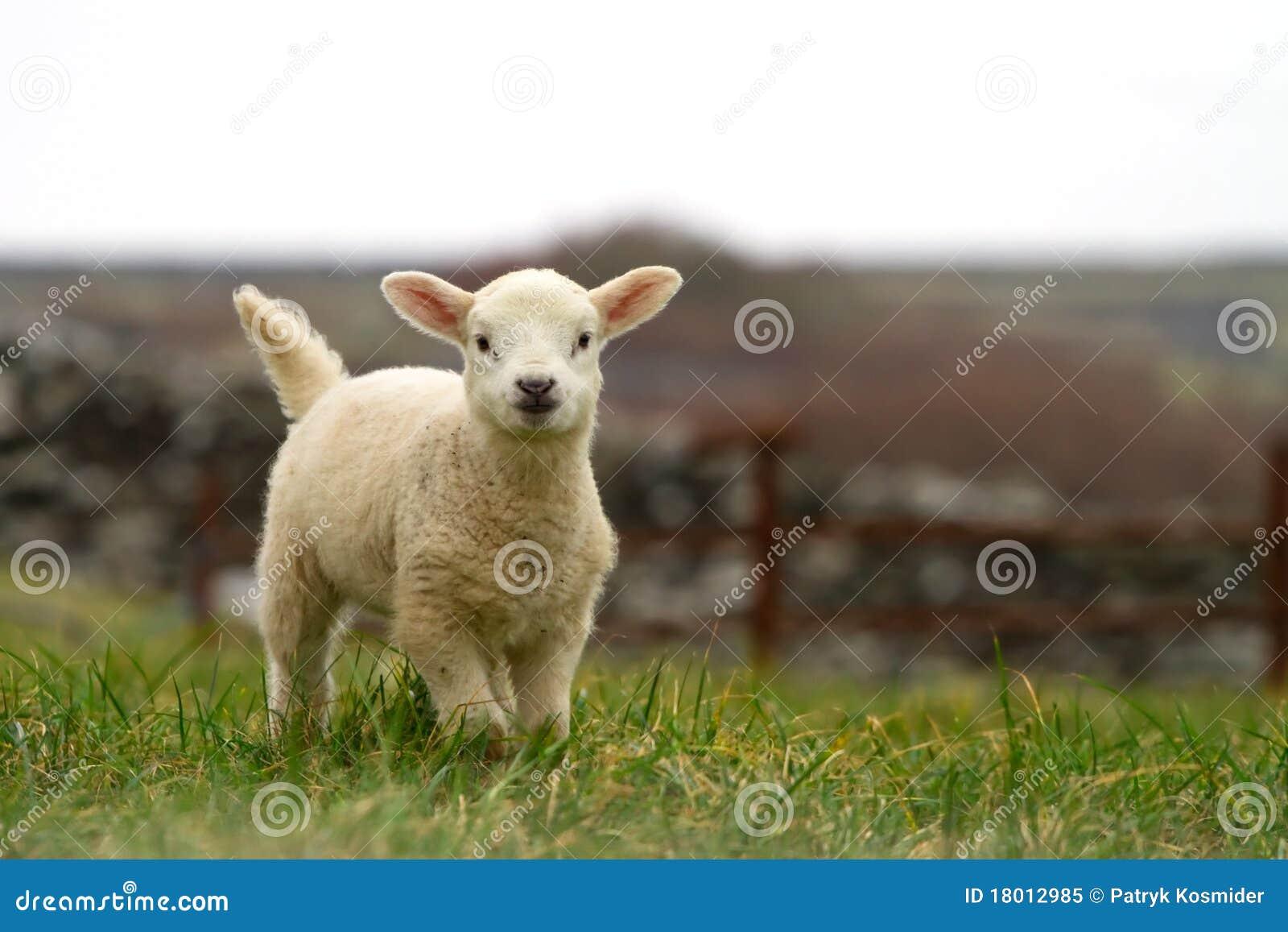 Moutons irlandais de chéri