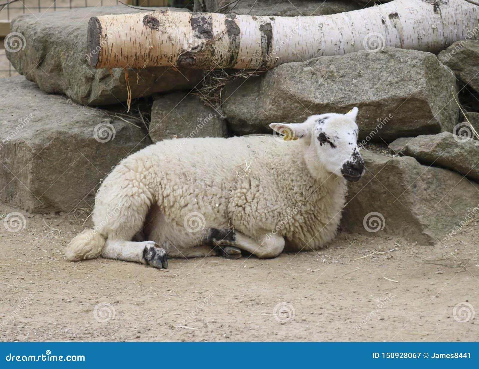 Moutons ? la ferme