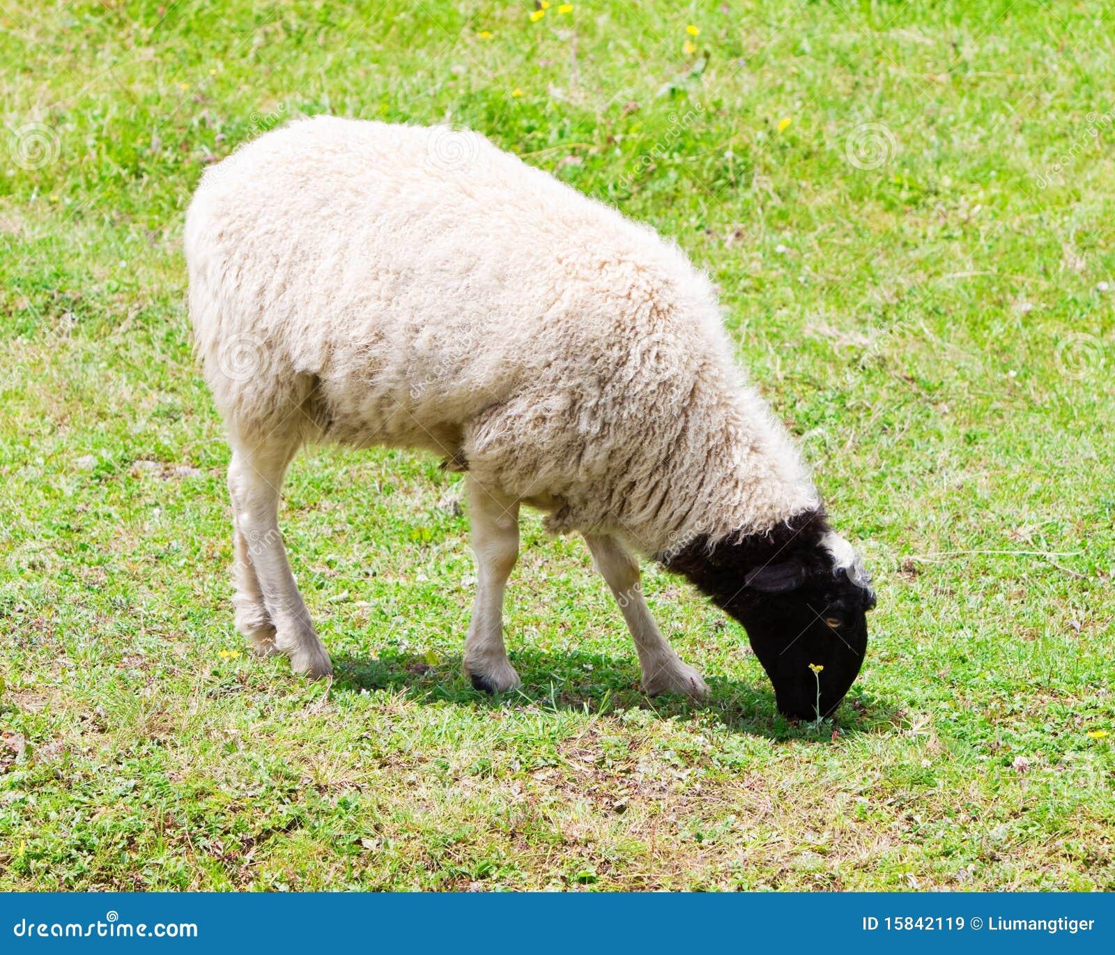 Moutons mangeant l 39 herbe images libres de droits image - Photos de moutons gratuites ...