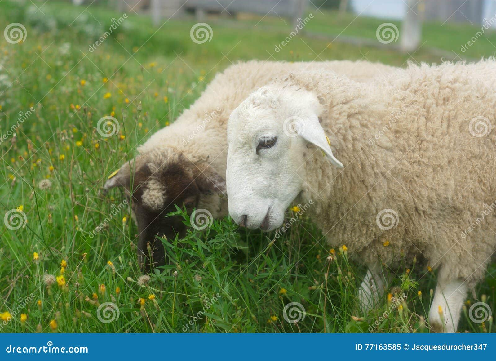 Moutons mangeant l herbe dans un pré vert
