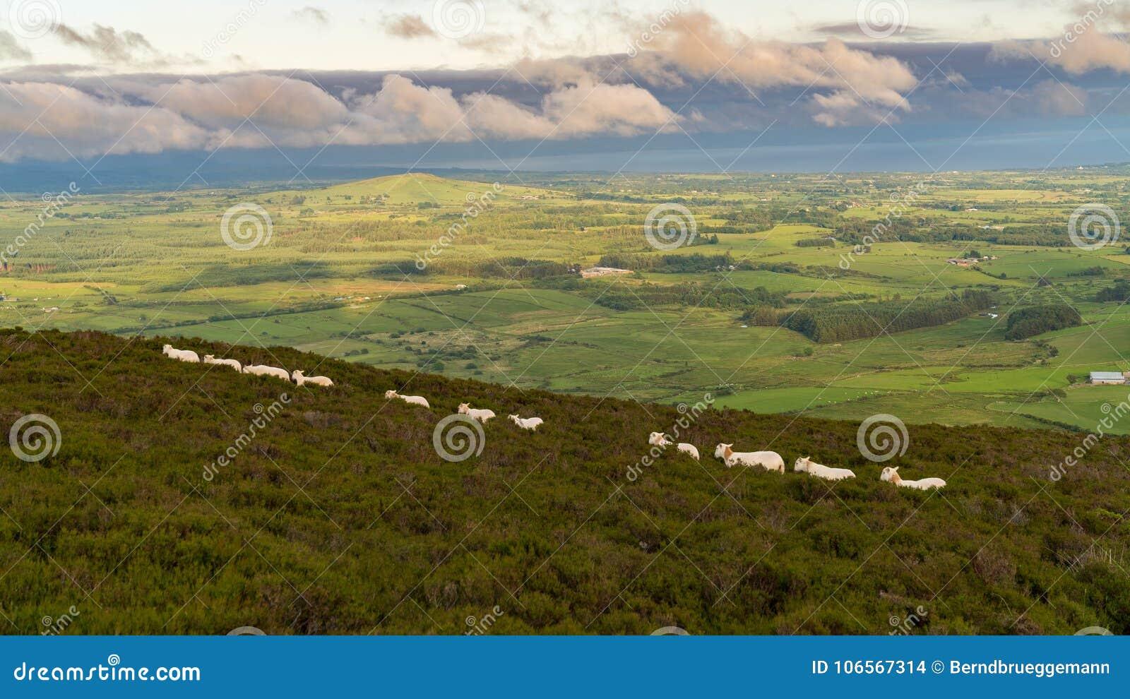 Moutons marchant dans la ligne