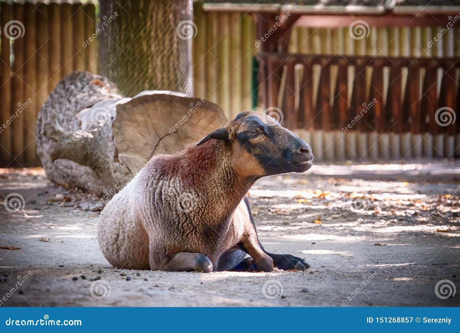 Moutons mignons dans le jardin zoologique
