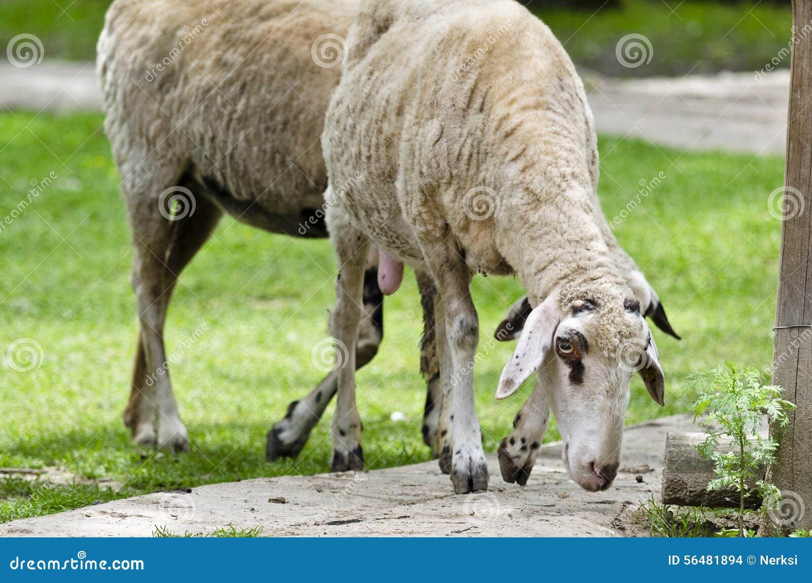 Moutons pendant l après-midi d été