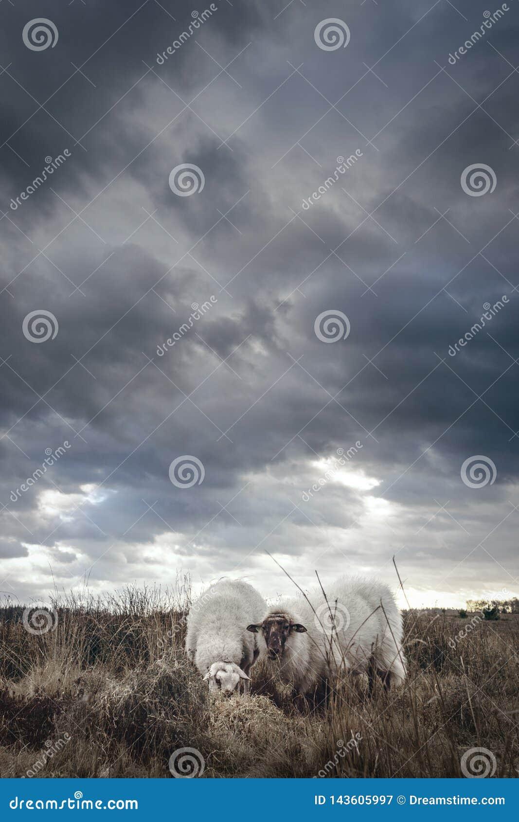 Moutons se tenant dans un domaine un jour pluvieux nuageux