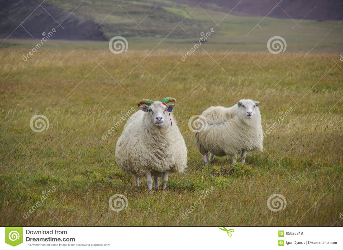 Moutons sous le vent violent