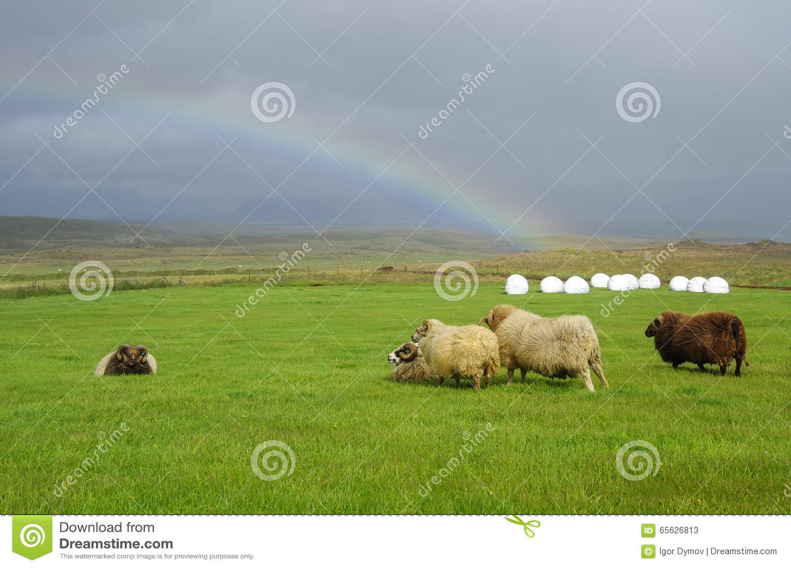Moutons sous le vent violent et l arc-en-ciel en montagnes
