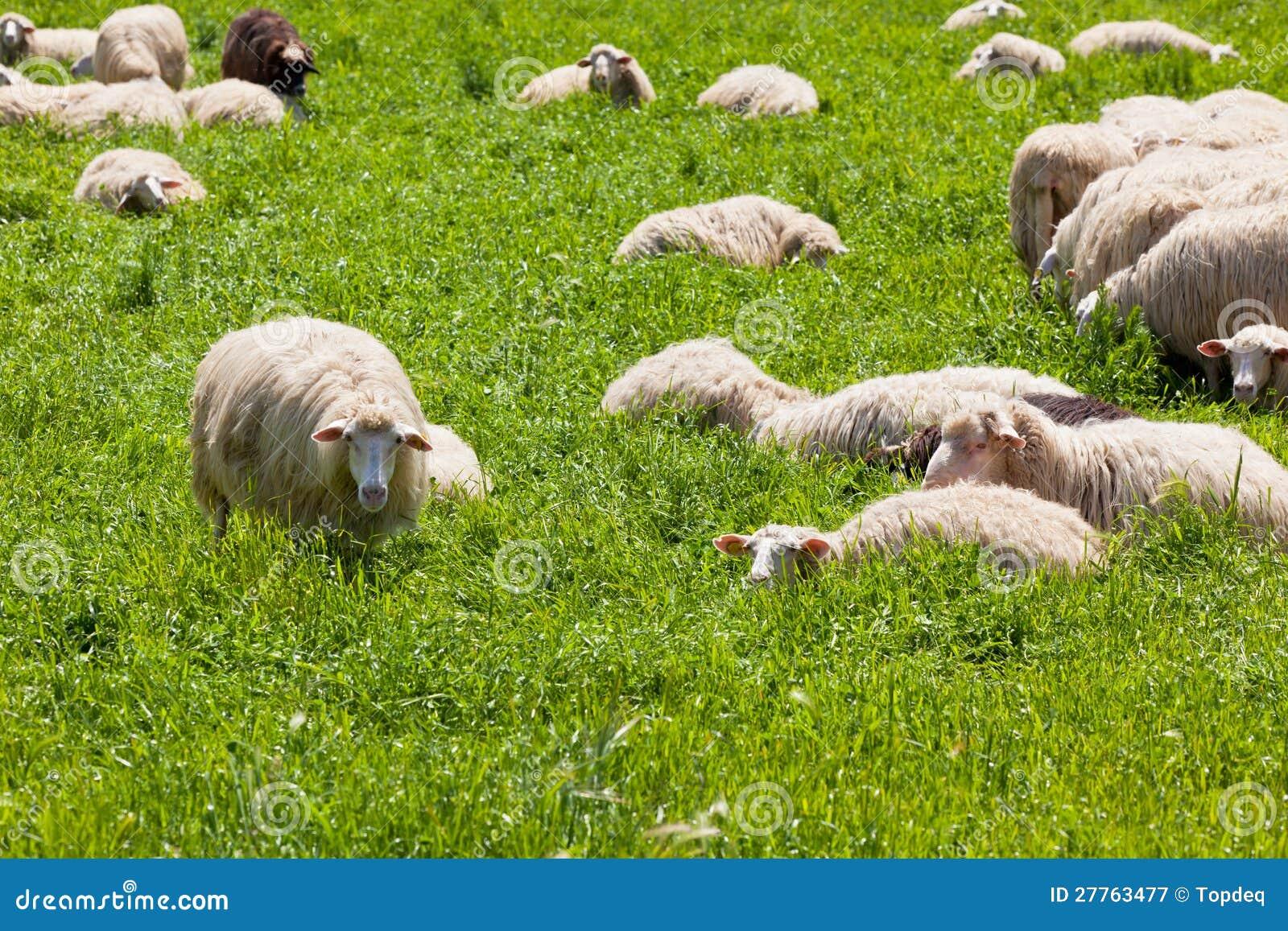 Moutons sur l herbe verte