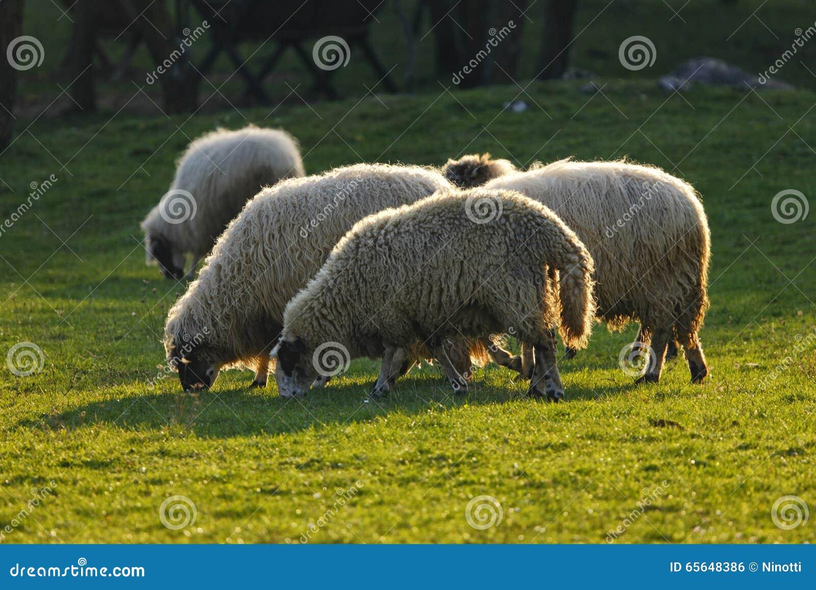 Moutons sur le champ