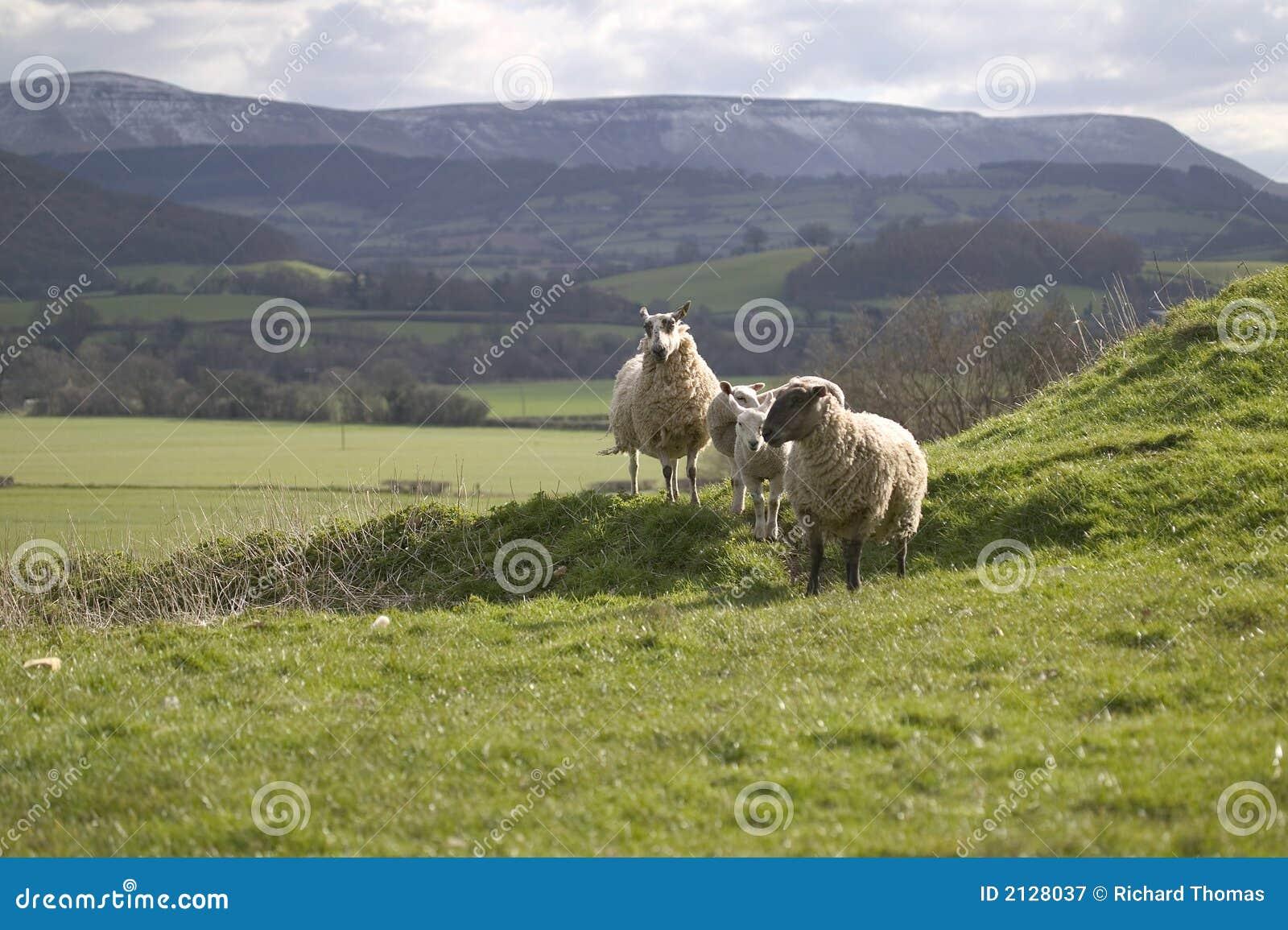 Moutons sur le flanc de coteau