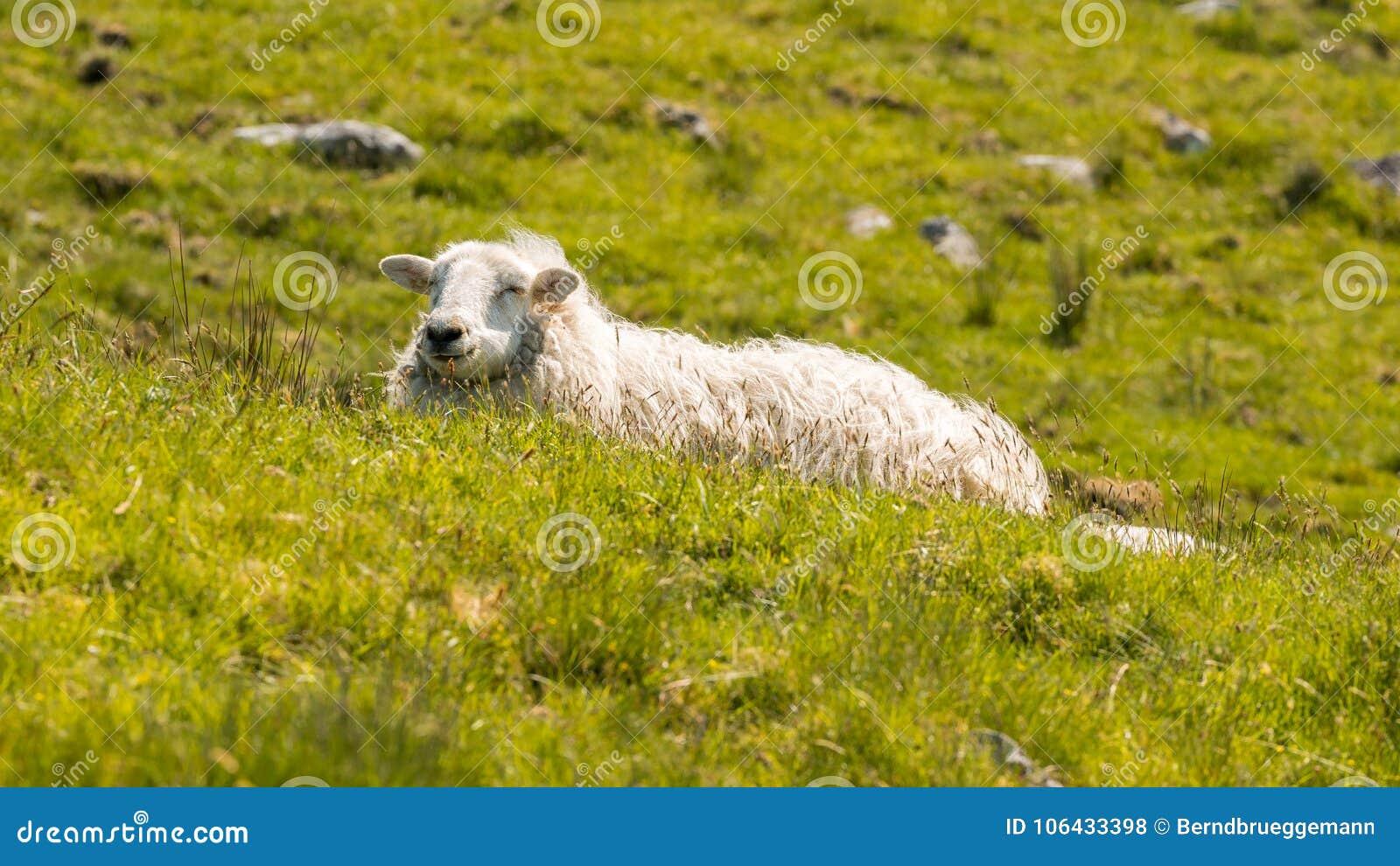 Moutons sur un pré