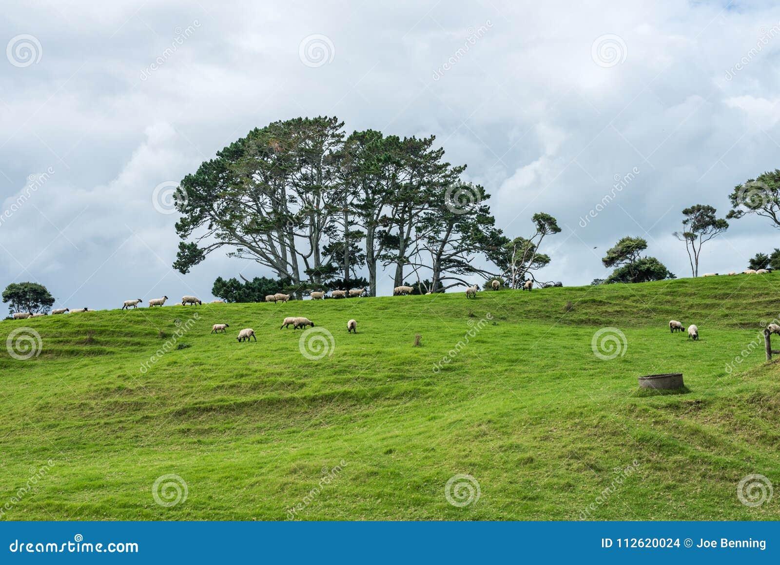 Moutons sur une côte