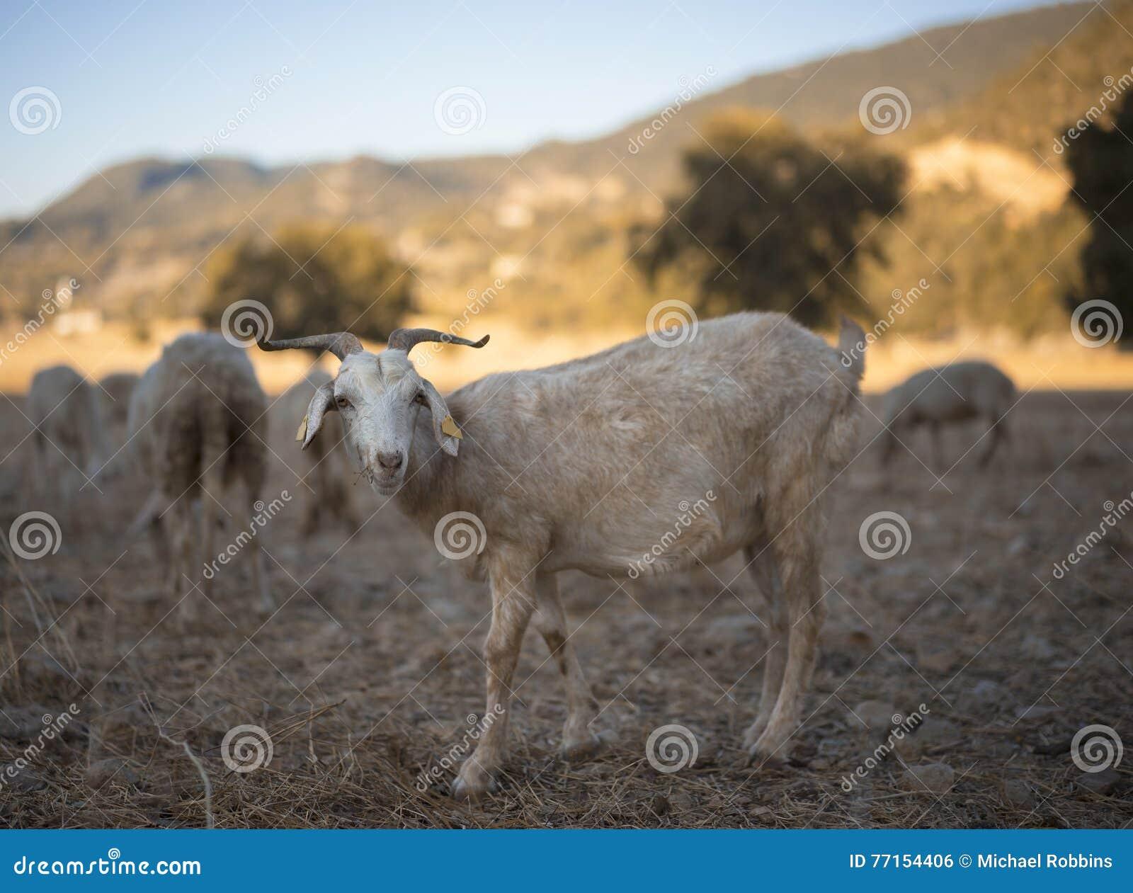 Moutons tondus
