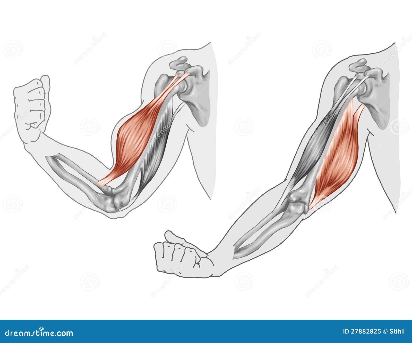 Único Músculo Del Brazo Para Colorear Composición - Enmarcado Para ...