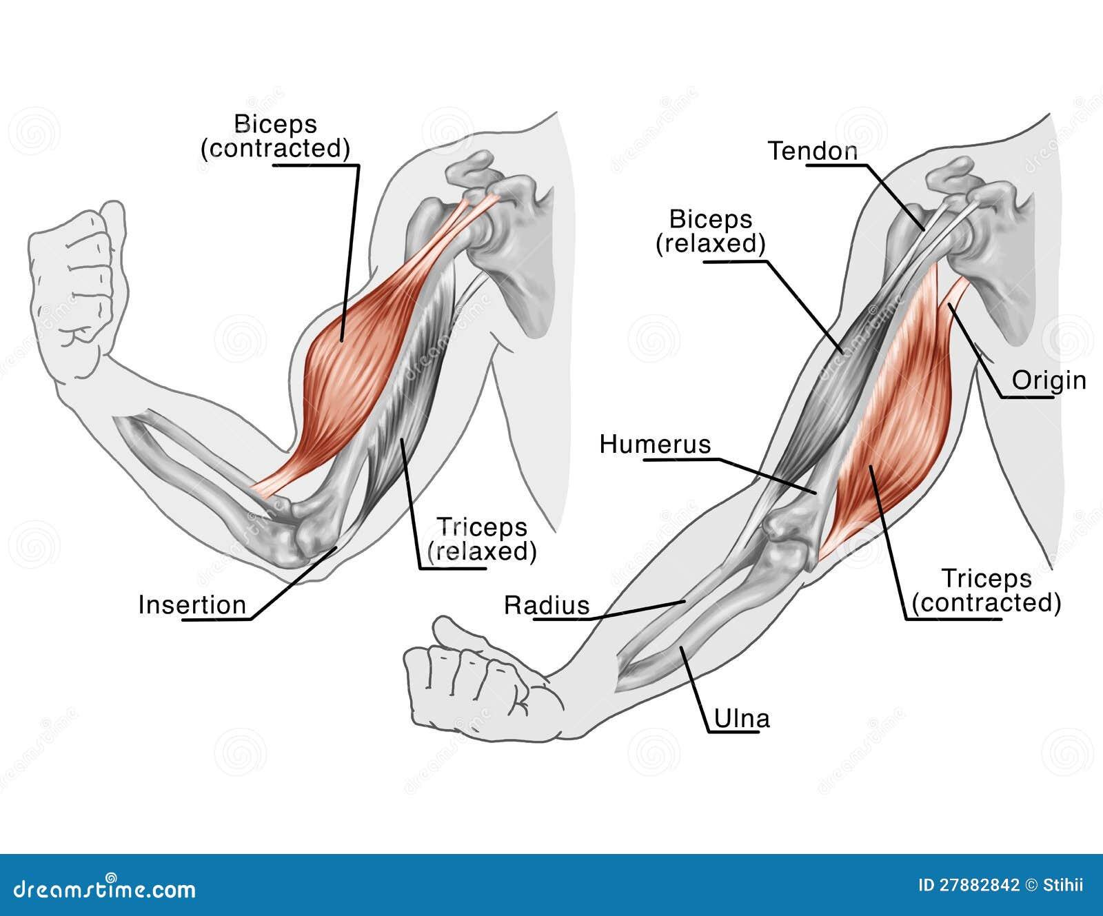 Encantador Músculos En Diagrama Brazo Colección de Imágenes ...