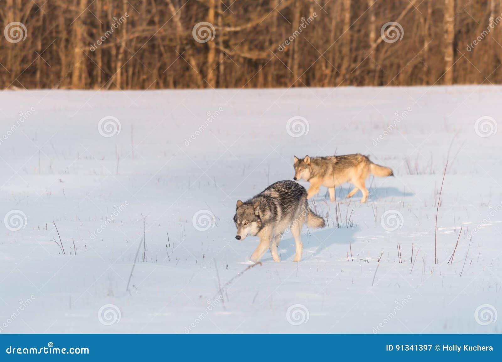 Movimiento del lupus de dos Grey Wolves Canis dejado en el campo Nevado