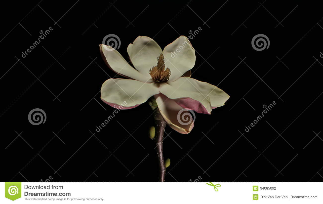 Moving passed the life and death of magnolia flowers time lapse moving passed the life and death of magnolia flowers time lapse stock footage video of background budding 94085092 mightylinksfo