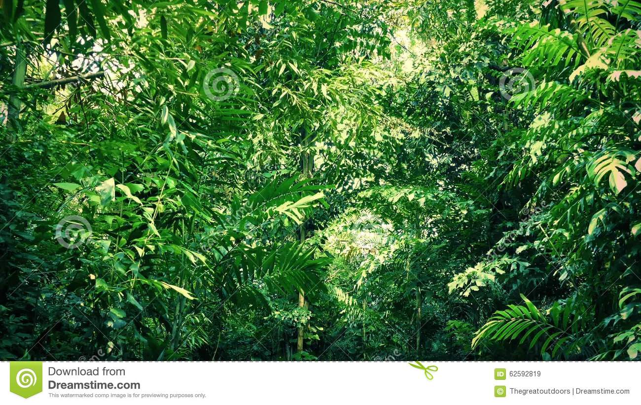 Moving Under Dense Jungle Canopy Stock Video - Video of path canopy 62592819 & Moving Under Dense Jungle Canopy Stock Video - Video of path ...