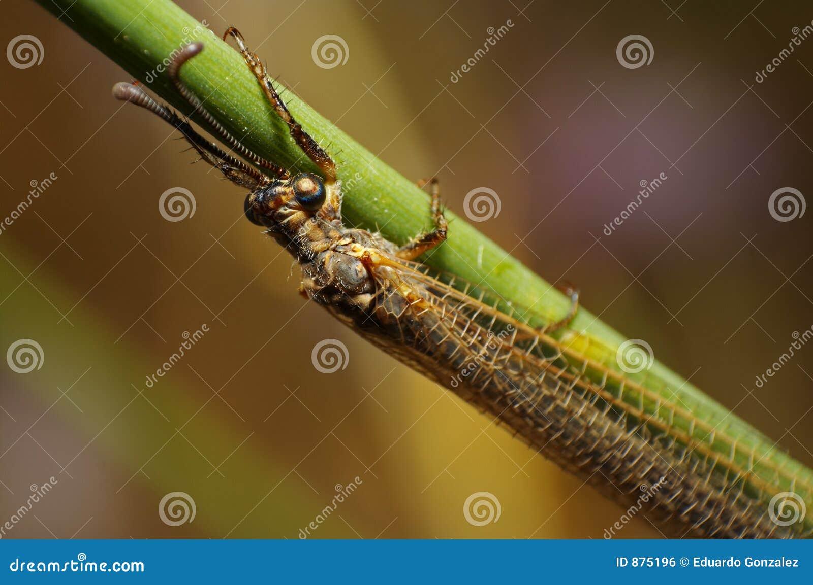 Mrówka lew