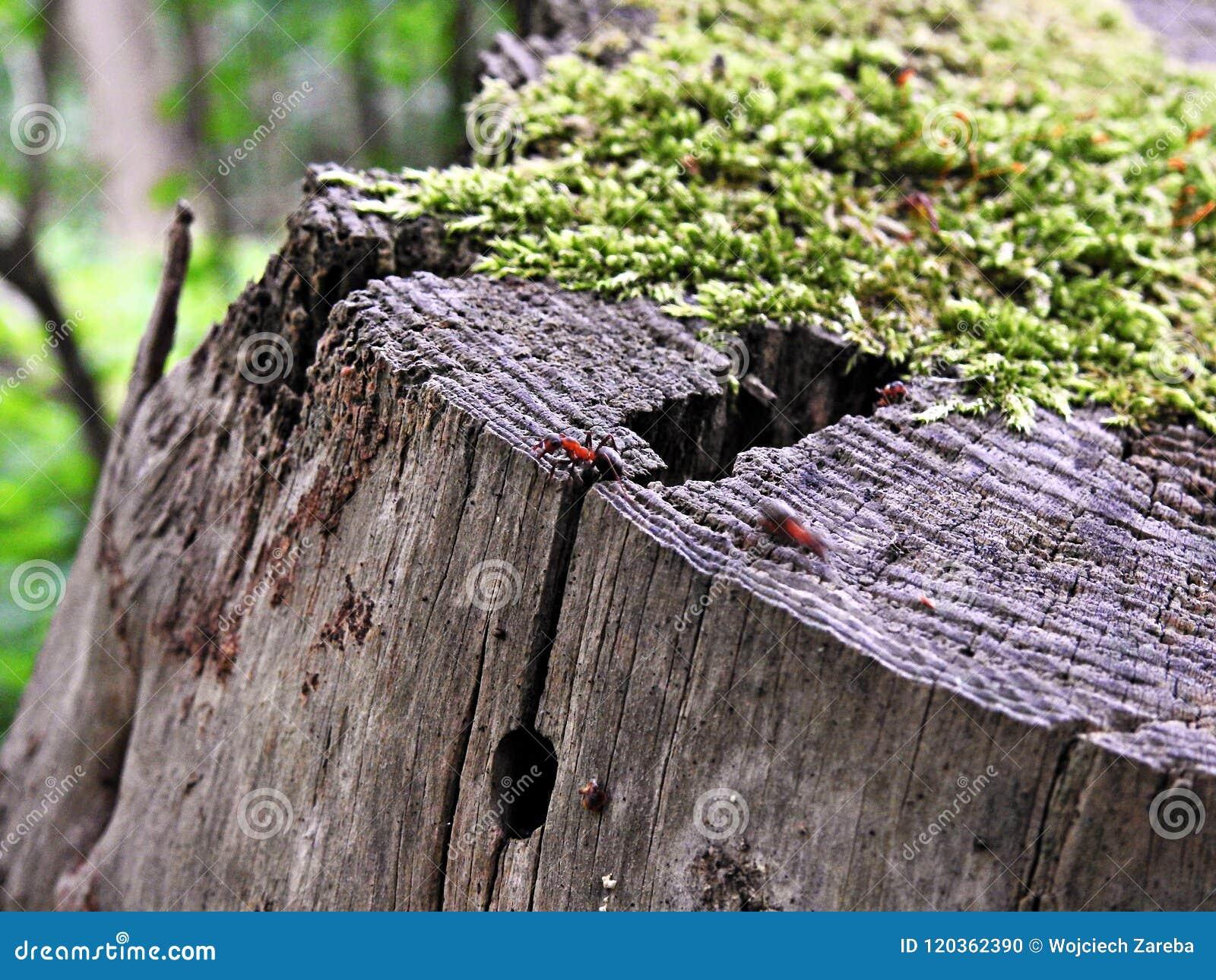 Mrówka na mech zakrywającym drzewnym bagażniku