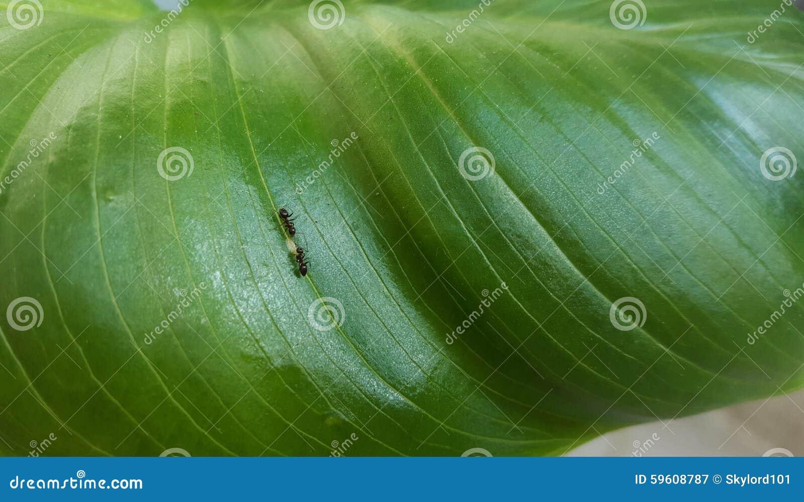 Mrówki Na Kwiacie