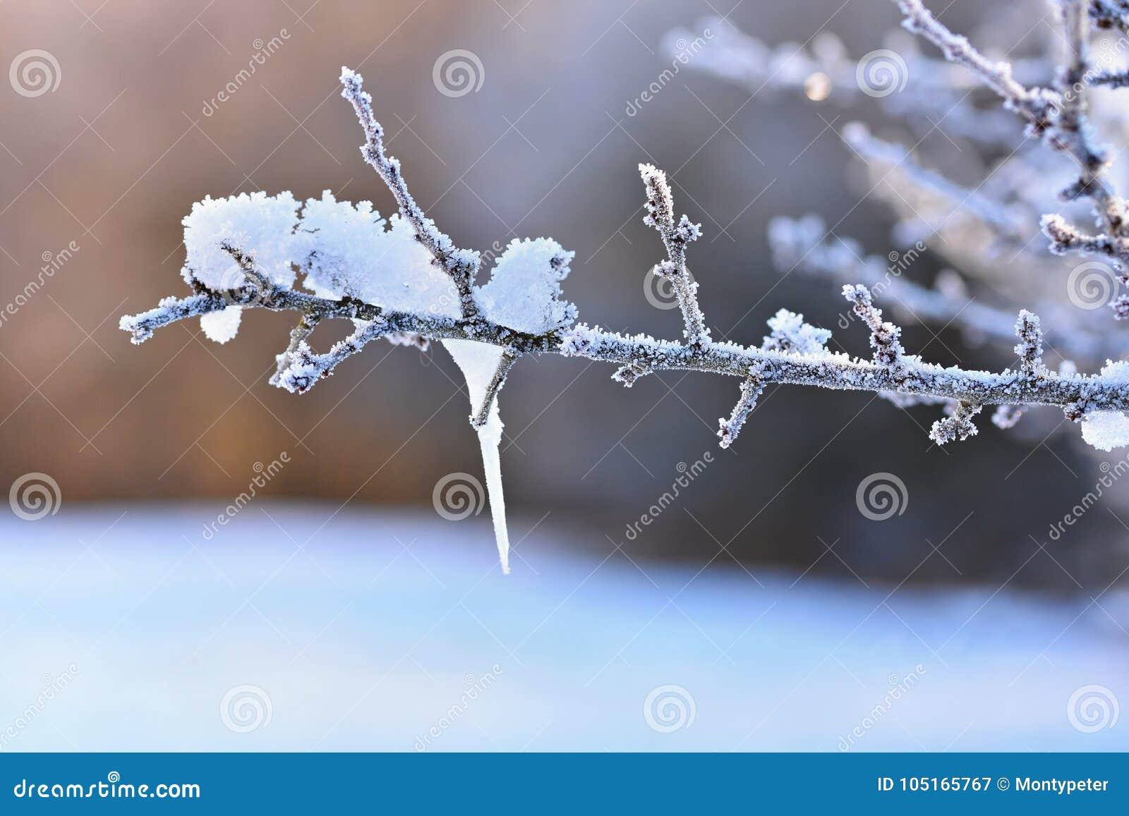 Mróz i śnieg na gałąź Pięknej zimy sezonowy tło Fotografia zamarznięta natura