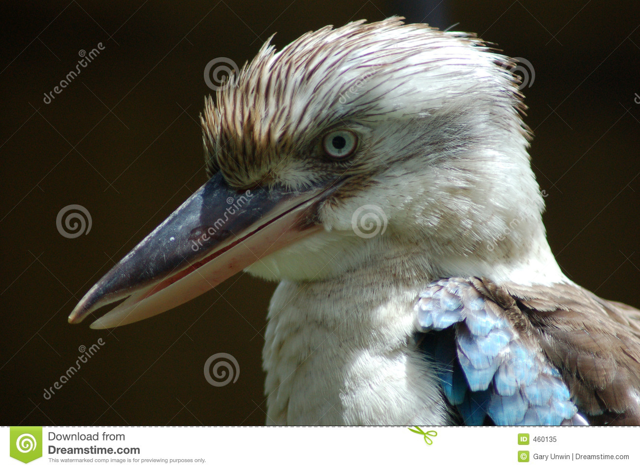 Mr. Kookaburra