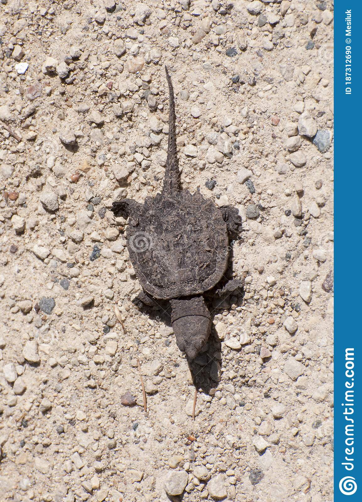 130 Baby Snapping Turtle Photos Free Royalty Free Stock Photos From Dreamstime