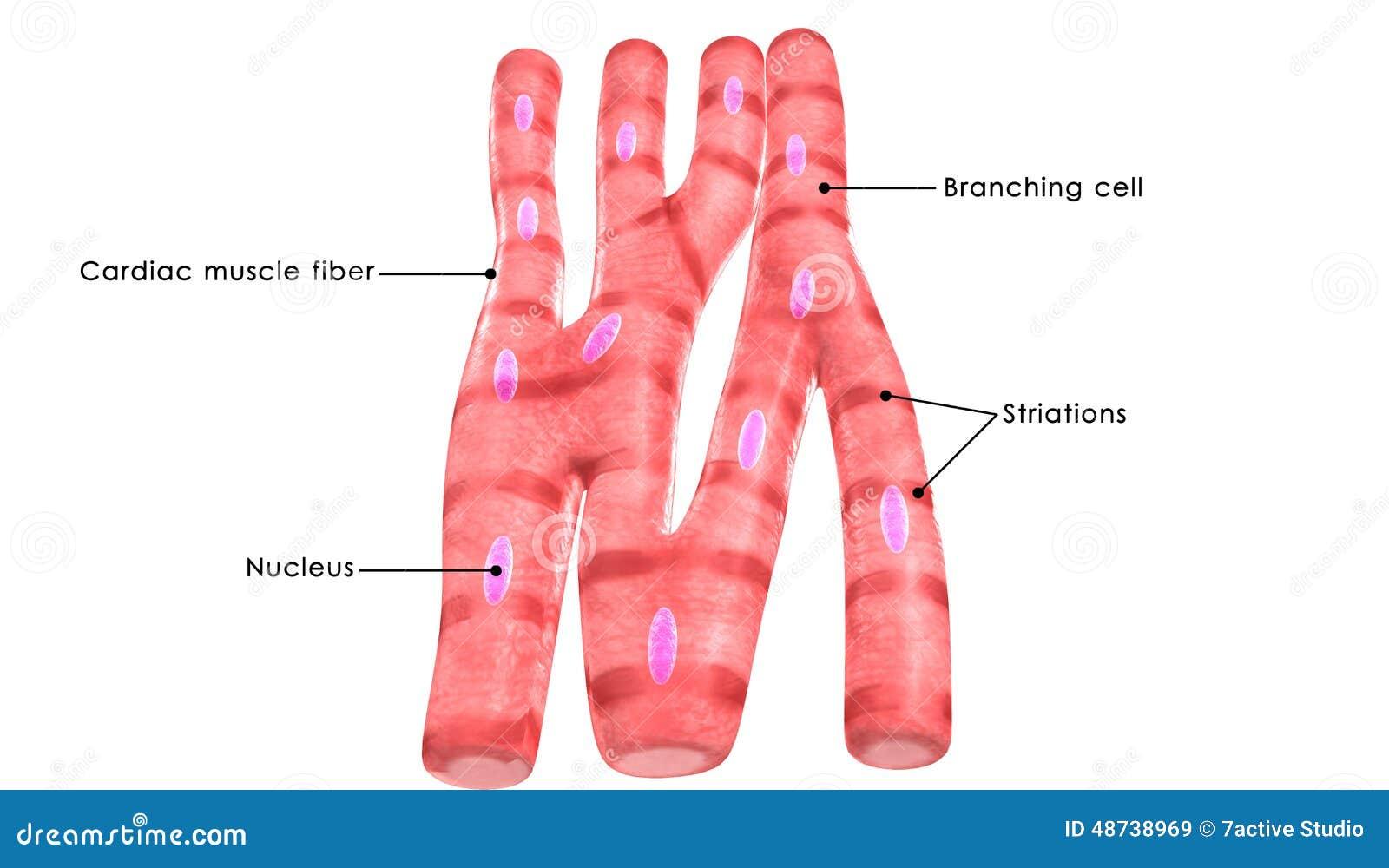 Fisiologia] Fisiologia Cardiovascular