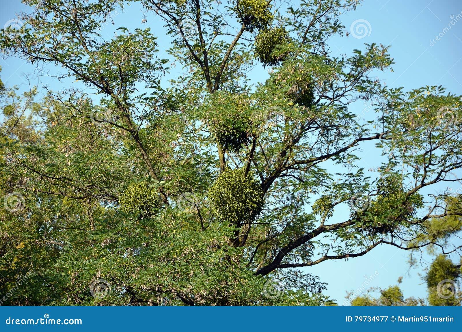 Muérdago en la naturaleza grande del árbol