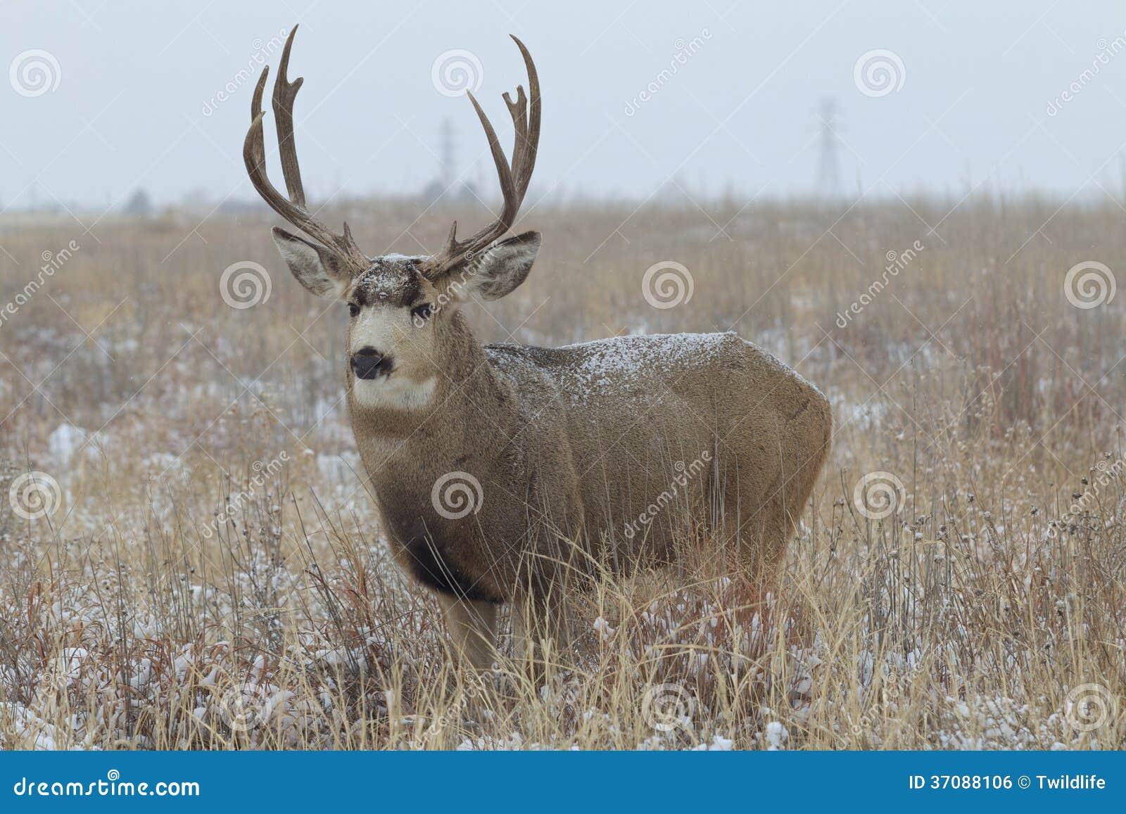 Download Muła rogacza samiec zdjęcie stock. Obraz złożonej z dziki - 37088106
