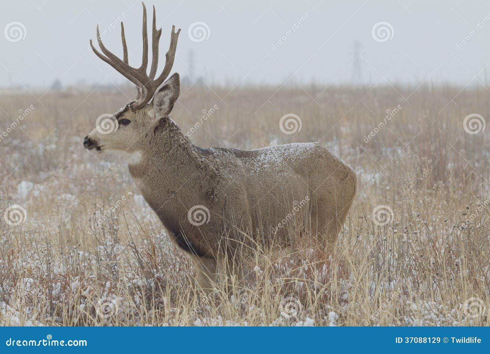 Download Muła rogacza samiec w polu obraz stock. Obraz złożonej z dziki - 37088129