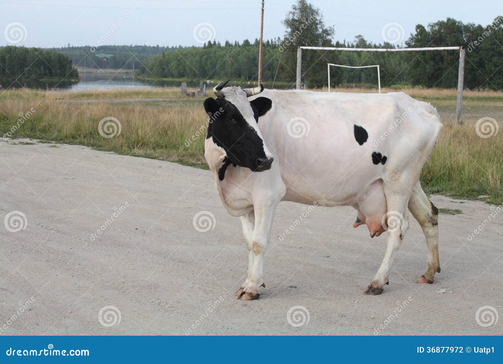 Download Mucca fotografia stock. Immagine di bestiame, bestiami - 36877972
