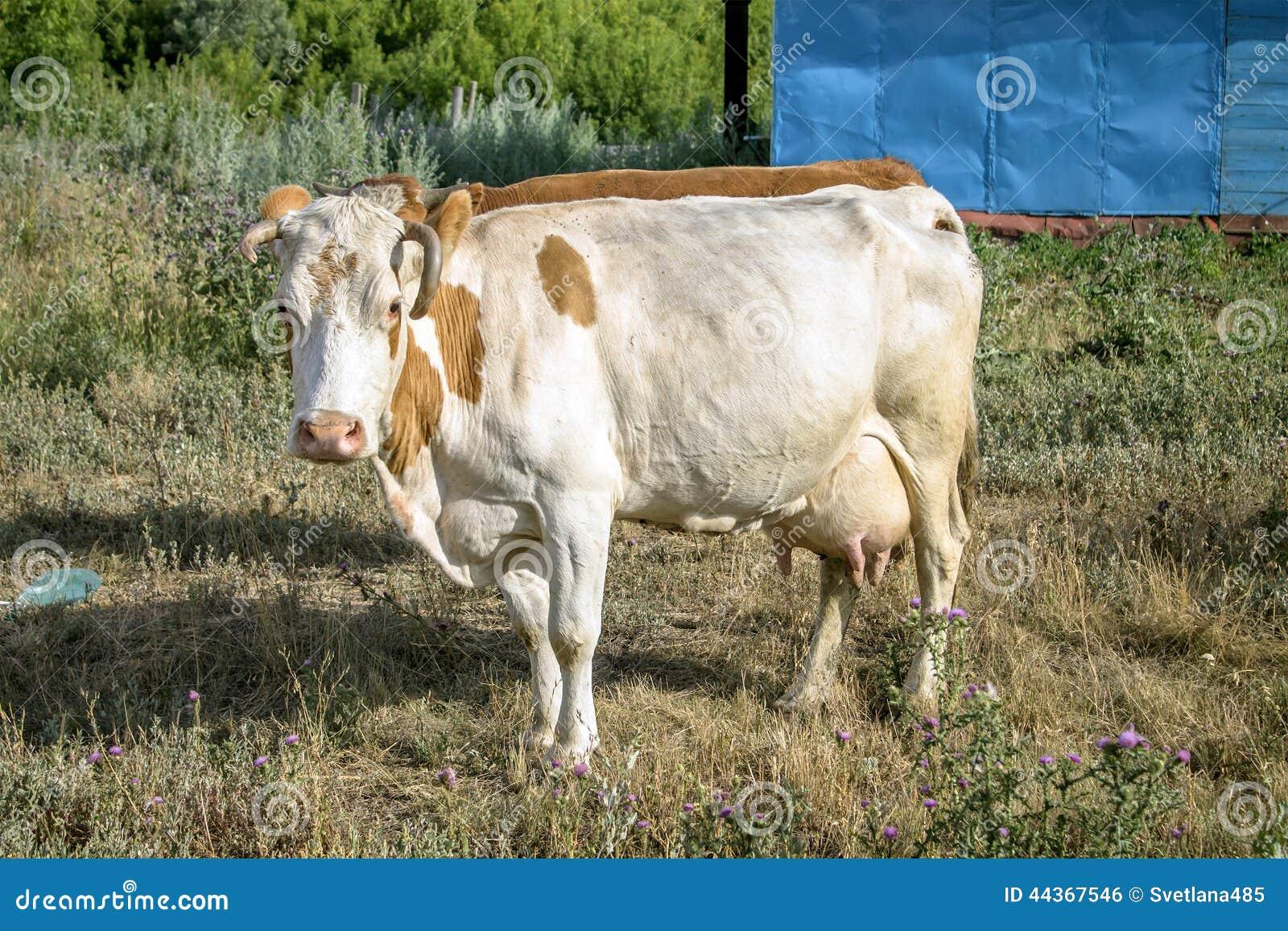 Mucca bianca con i punti rossi