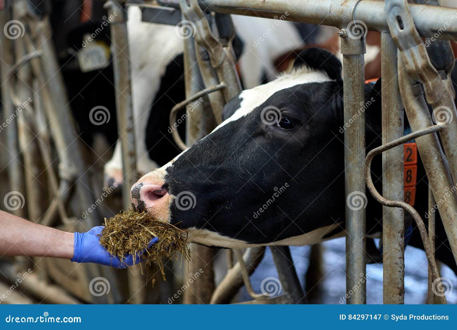 Mucca di alimentazione manuale con fieno in stalla all azienda lattiera