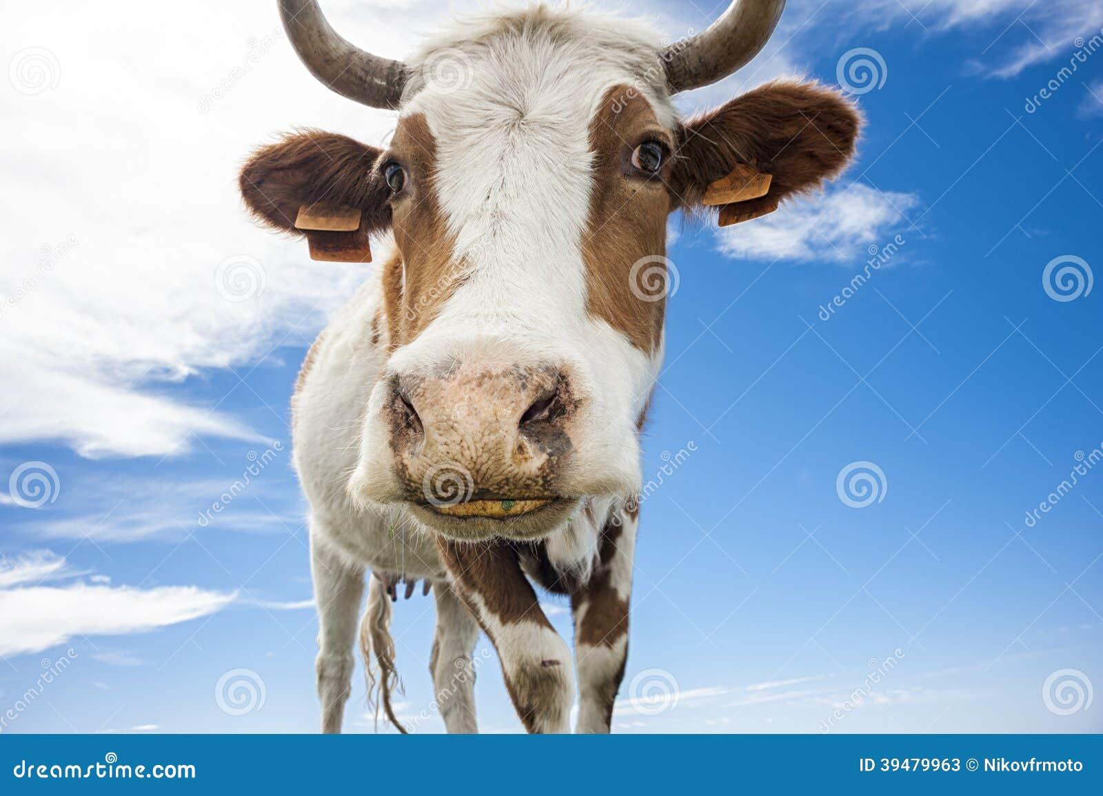 Mucca divertente