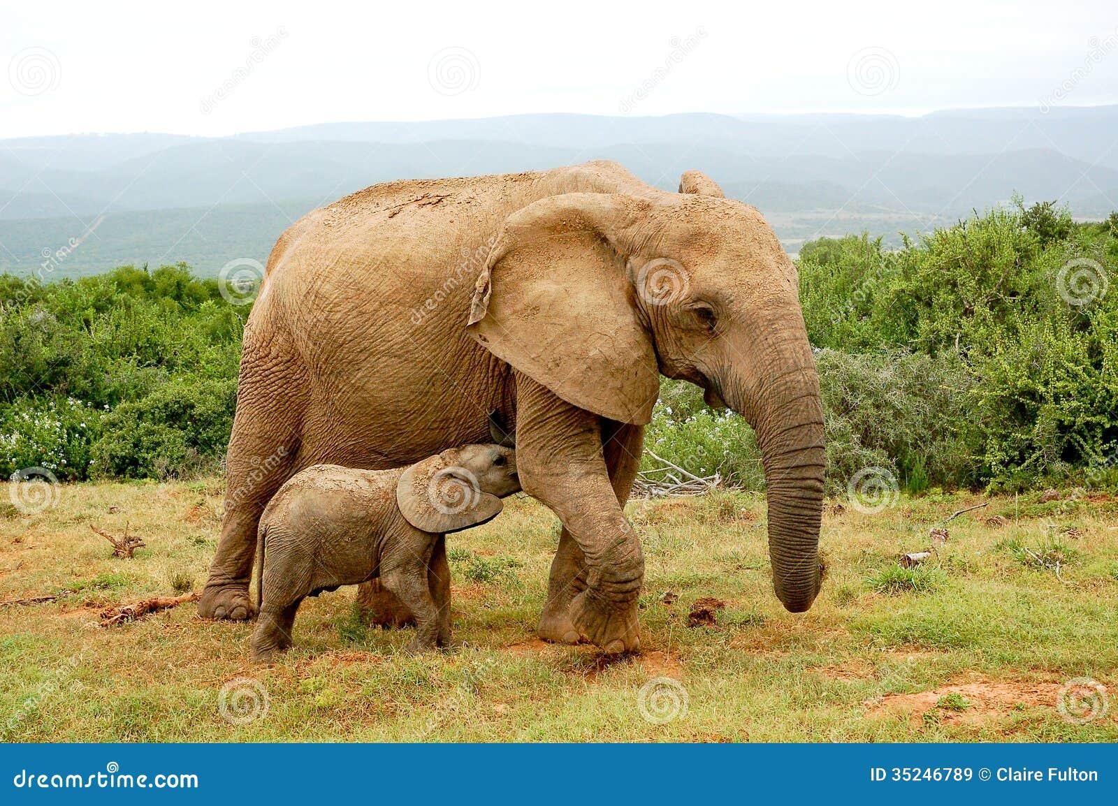 Mucca e vitello dell 39 elefante immagine stock immagine di - Elefante foglio di colore dell elefante ...