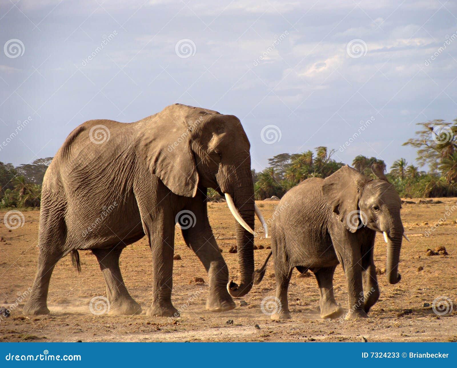Mucca e vitello dell elefante in Amboseli
