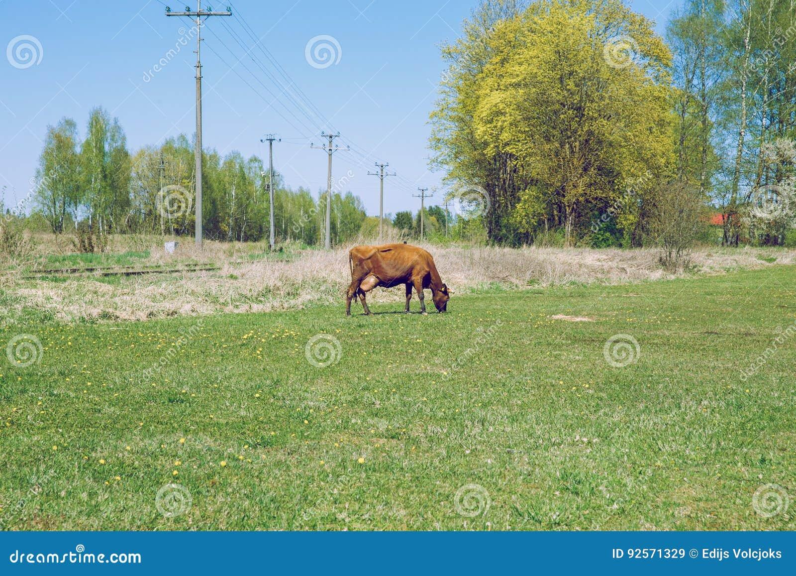 Mucca marrone Molla soleggiata in prato lettone con la mucca