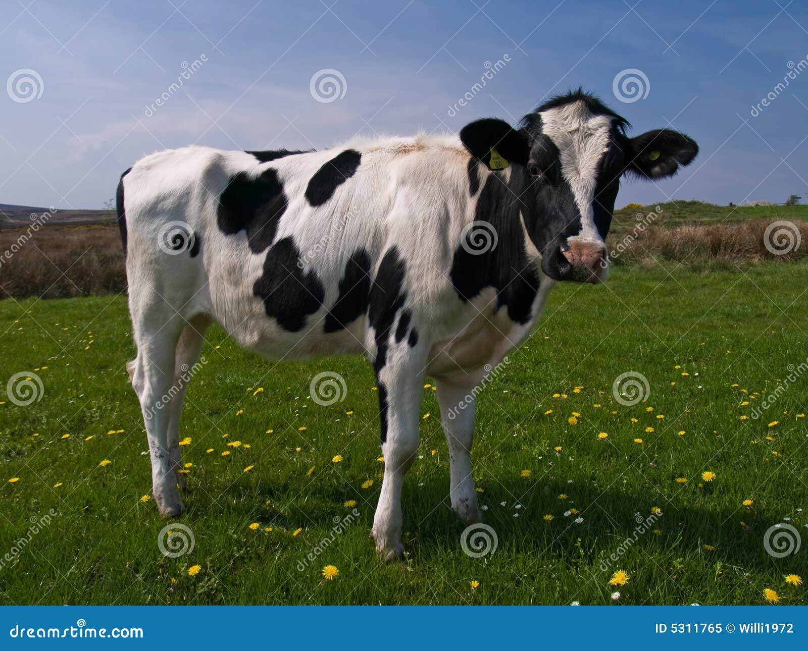 Download Mucca nel campo immagine stock. Immagine di nero, cielo - 5311765