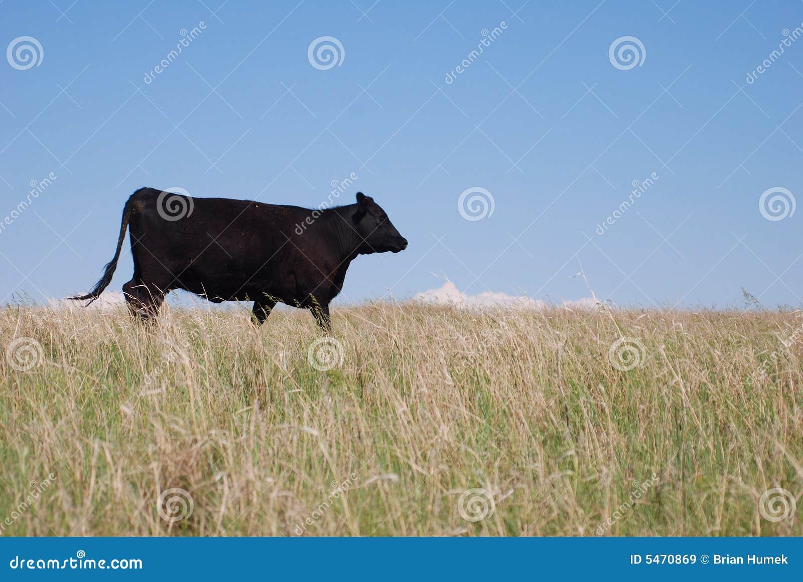 Mucca nera del Angus