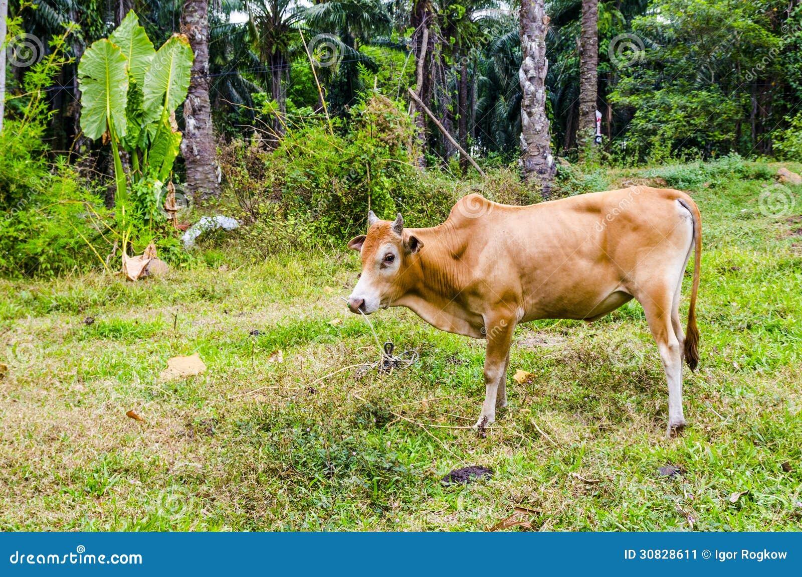 Mucca rossa che pasce in un villaggio tailandese