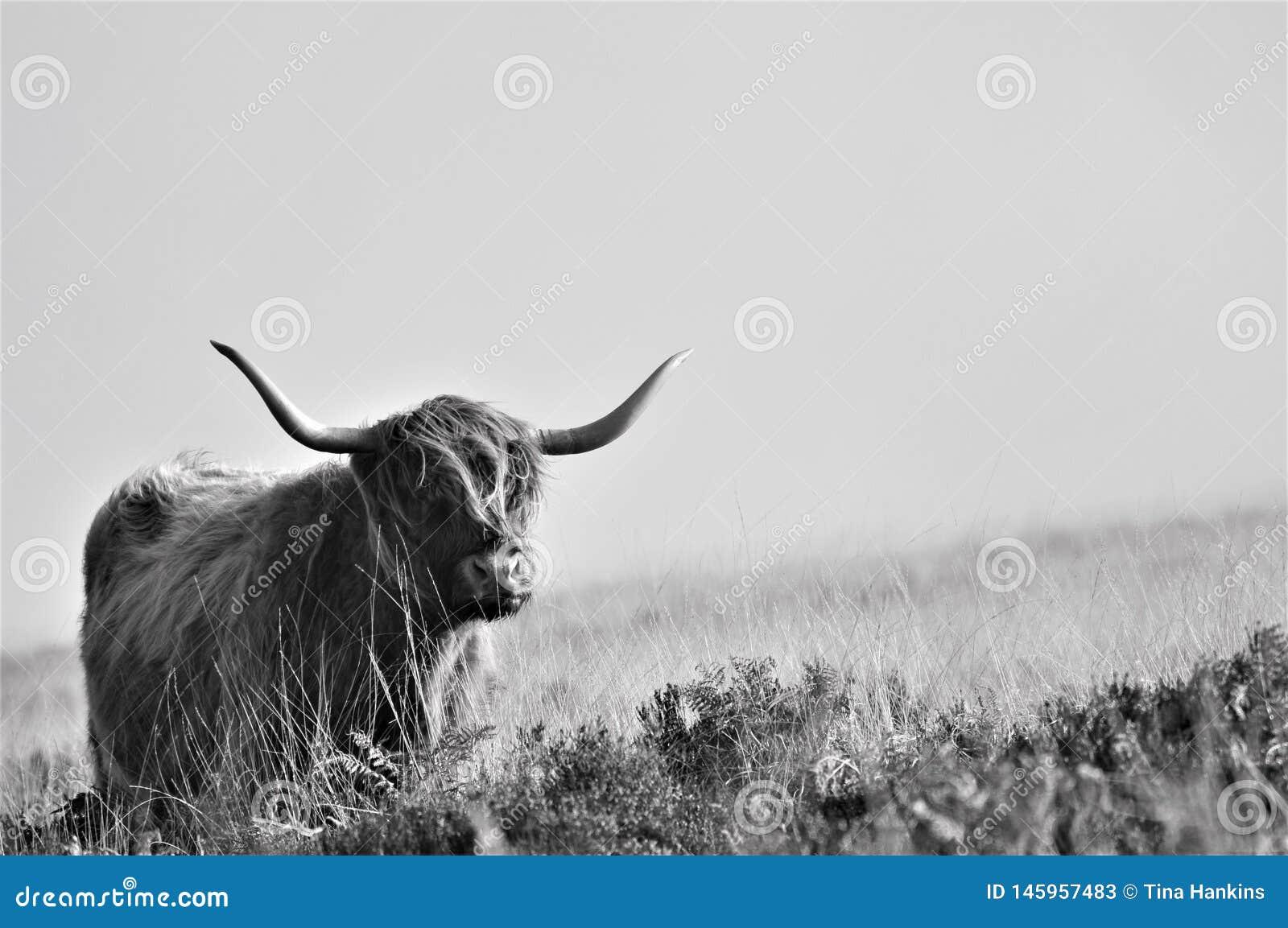 Mucca scozzese dell altopiano che vive sulla brughiera che si mescola nei suoi dintorni