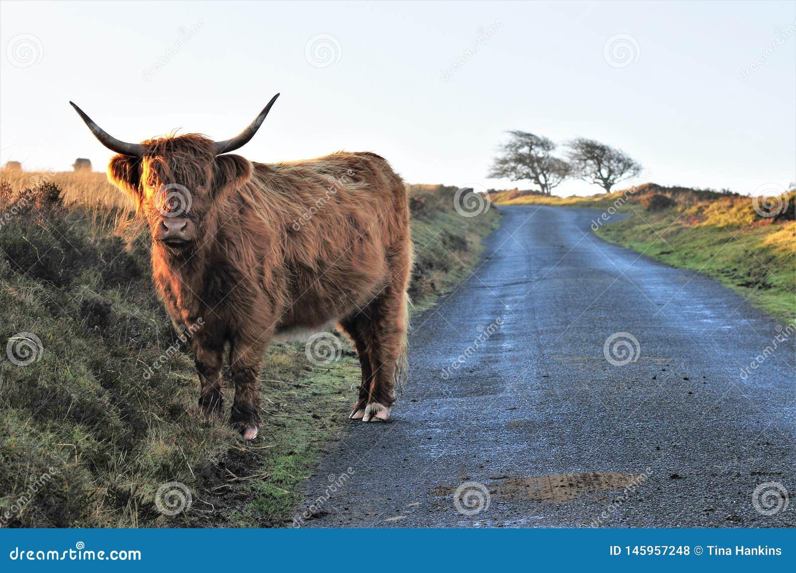 Mucca scozzese dell altopiano su un vicolo del paese su brughiera