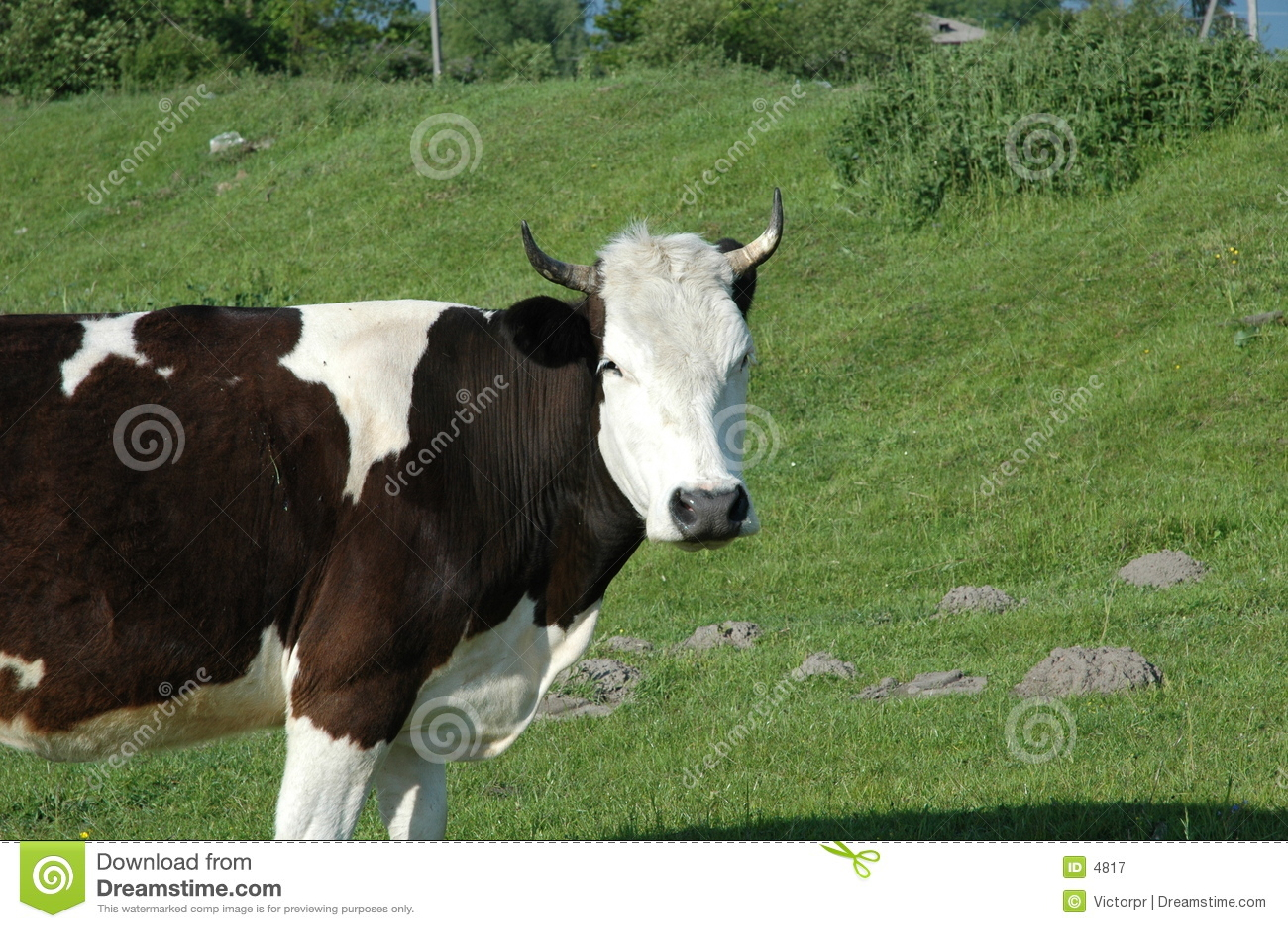 Mucca sul campo verde