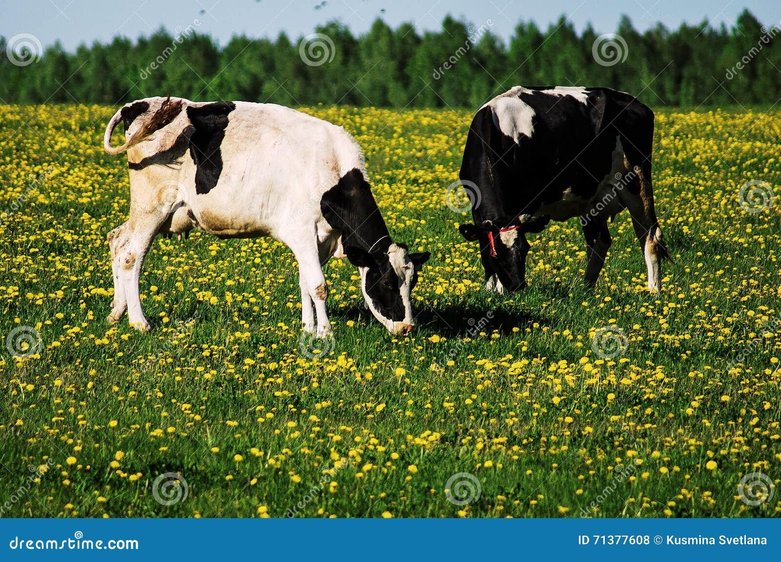 Mucca sul prato del fiore